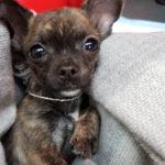 Chihuahua-Kasper